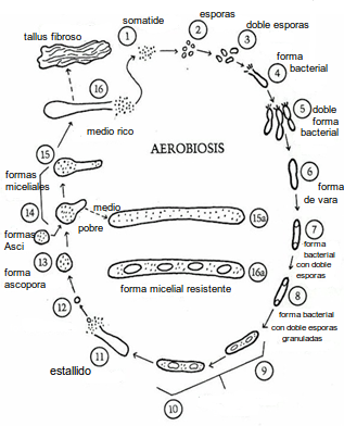 ciclo somatides