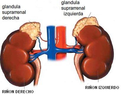 glandulas adrenales | seryactuar.org despertando a la realidad