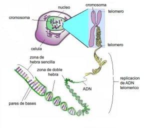 ADN celular